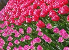 Fonds d'écran Nature champs de tulipes