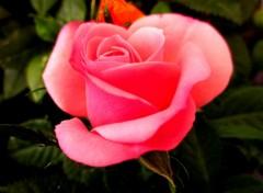 Fonds d'écran Nature Rose flamboyante