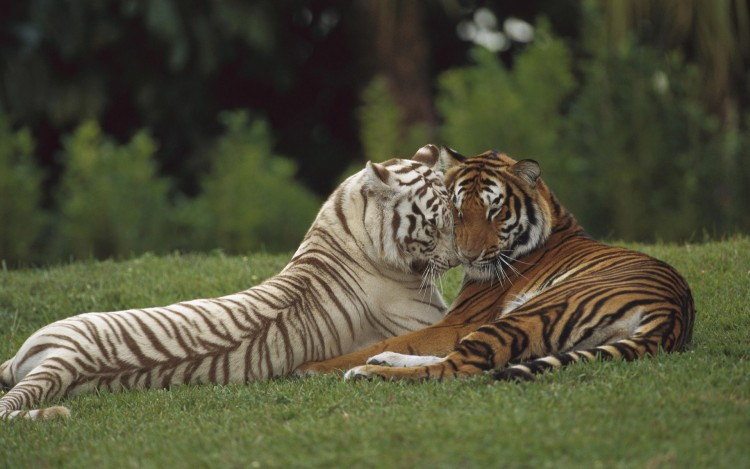 Wallpapers Animals Felines - Tigers Tigre calin