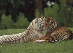 Fonds d'écran Animaux Tigre calin