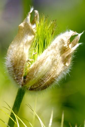 Fonds d'écran Nature Fleurs Pulsatille fanée