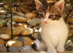 Fonds d'écran Animaux chaton