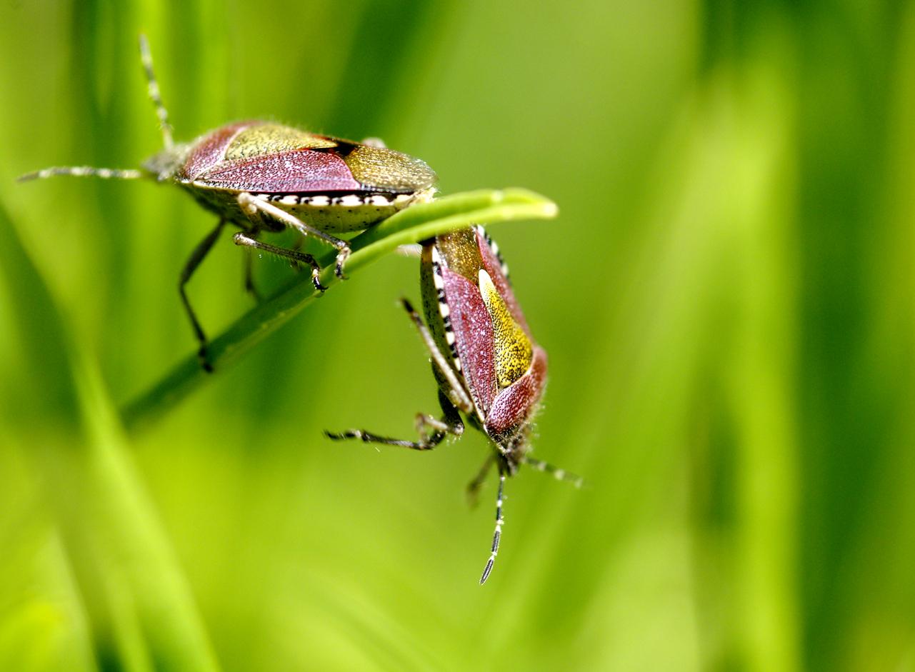 Fonds d'écran Animaux Insectes - Punaises Accouplement en équilibre