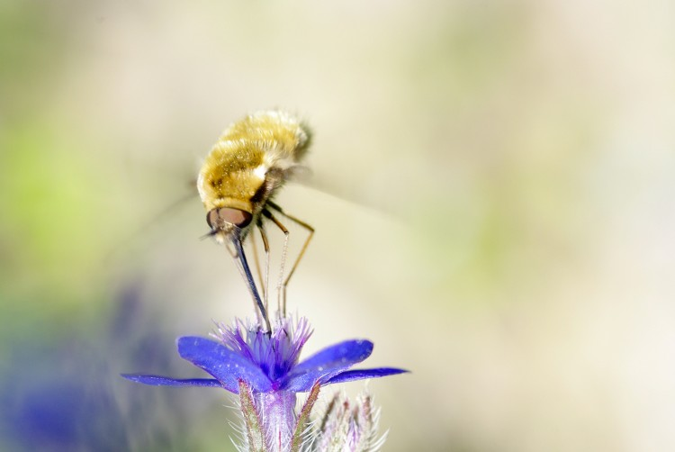 Wallpapers Animals Insects - Bombyles Bombyle