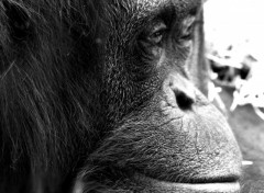 Wallpapers Animals Mr l'orang-outan