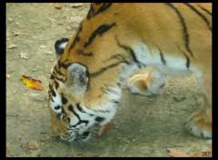 Fonds d'écran Animaux Tigre