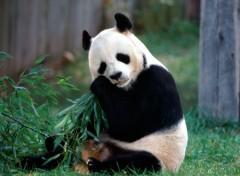Wallpapers Animals Panda