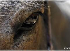 Fonds d'écran Animaux Horses Eye