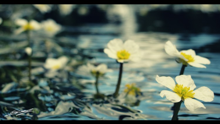 Wallpapers Nature Flowers Effleurer l'eau...