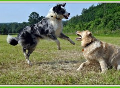 Fonds d'écran Animaux Border collie & Xgolden