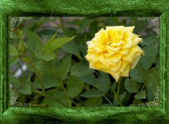 Wallpapers Nature Roses et les pucerons
