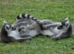 Fonds d'écran Animaux petits lémuriens