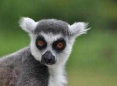 Fonds d'écran Animaux petit lémurien