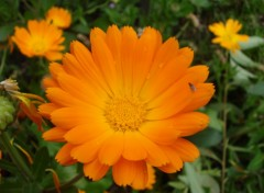 Wallpapers Trips : South America calendula officinalis o maravilla