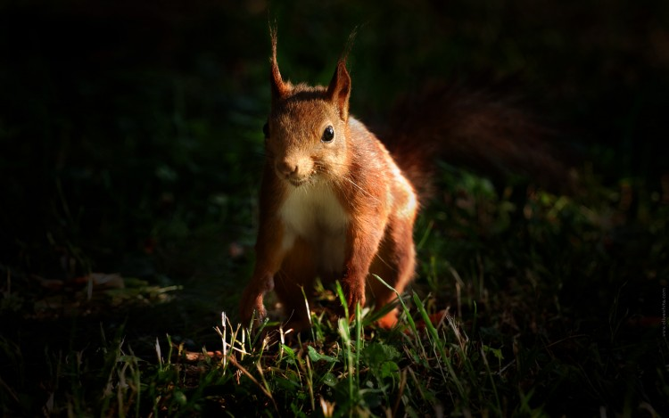 Wallpapers Animals Rodents - Squirrels Tim l'Ecureuil Roux 4