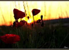 Wallpapers Nature coquelicot