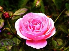 Wallpapers Nature rose bonbon