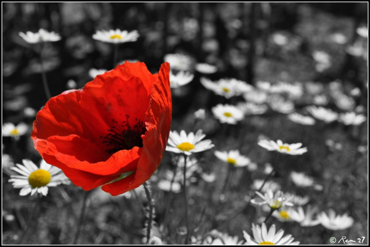Wallpapers Nature Flowers coquelicot 02
