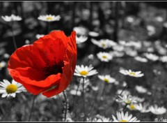 Wallpapers Nature coquelicot 02