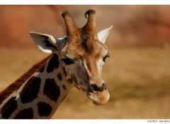 Wallpapers Animals Portrait de Girafe . 1
