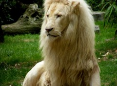 Wallpapers Animals Lion blanc
