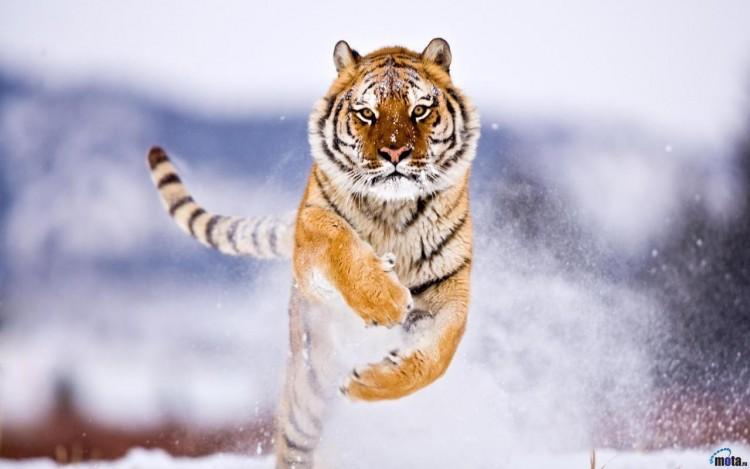 Wallpapers Animals Felines - Tigers Tigres