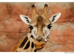 Wallpapers Animals Portrait de Girafe . 3