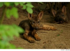 Fonds d'écran Animaux Jeune Loup . 2
