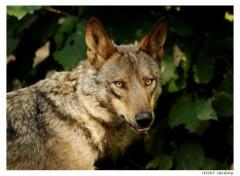 Fonds d'écran Animaux Portrait de Loup . 4