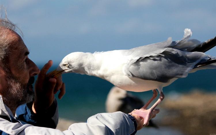 Wallpapers Animals Birds - Gulls L'homme et le goéland