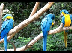 Fonds d'écran Animaux Perroquets