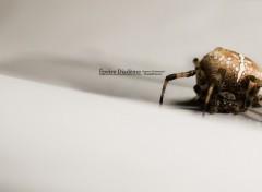 Wallpapers Animals Épeire Diadème (Araneus Diadematus)