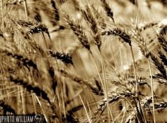 Fonds d'écran Nature champs de blé