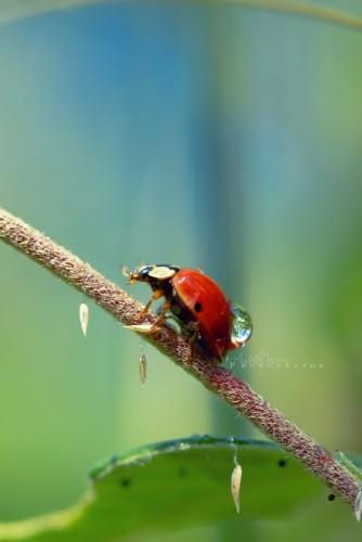 Fonds d'écran Animaux Insectes - Coccinelles Porteuse d'eau