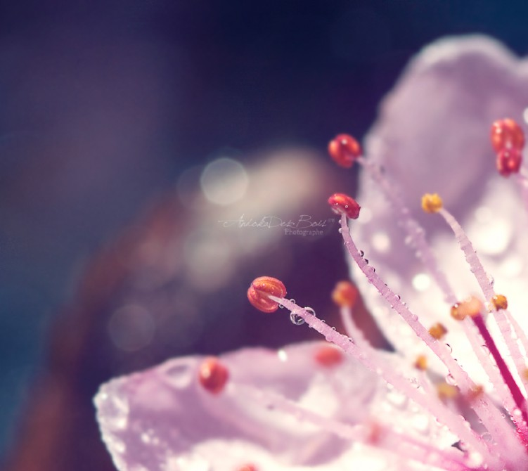 Wallpapers Nature Water - Drops Fleur de printemps