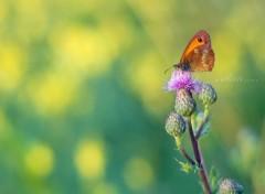 Fonds d'écran Animaux Petit papillon