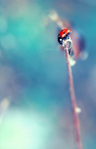 Wallpapers Animals Insects - Ladybugs En sureté