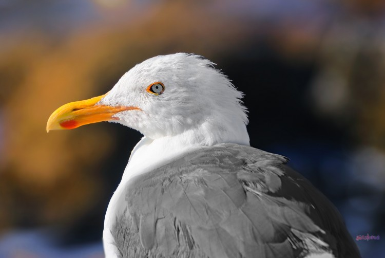 Wallpapers Animals Birds - Gulls Coast Guard