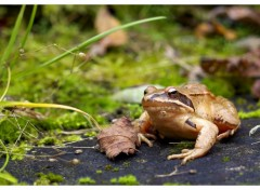 Wallpapers Animals  faraud grenouille