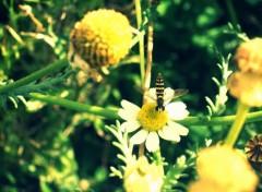 Fonds d'écran Animaux Mini abeille ?