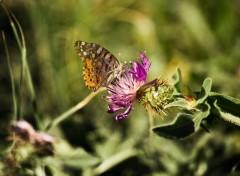 Fonds d'écran Animaux papillon