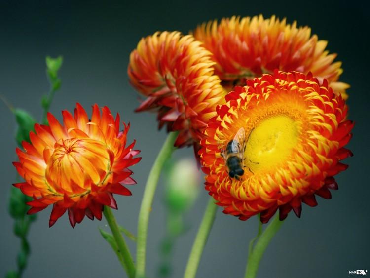 Fonds d'écran Nature Fleurs Bee on flower