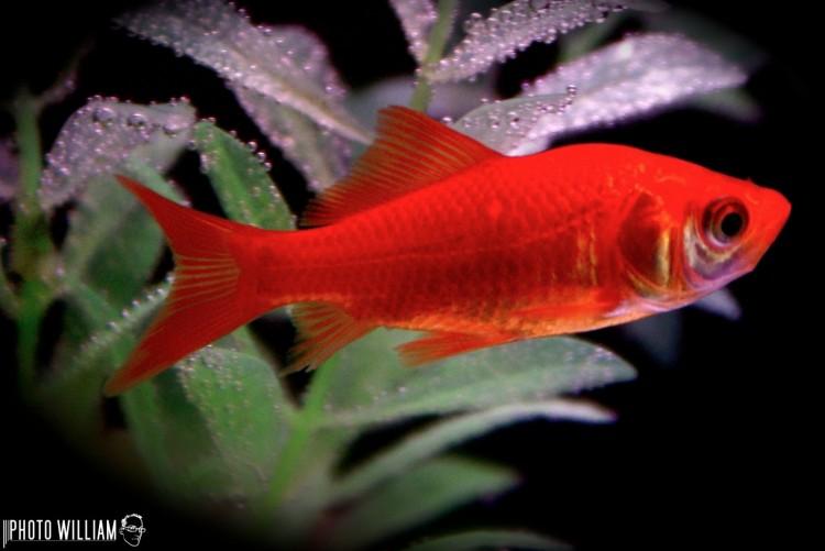 Fonds d'écran Animaux Vie marine - Poissons poisson rouge