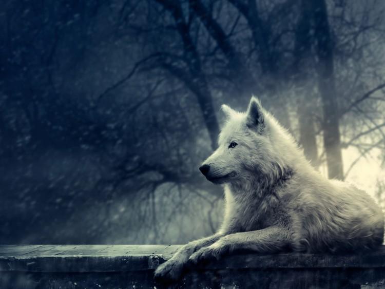 Fonds d'écran Art - Numérique Animaux Night of the wolf