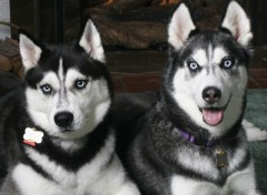 Wallpapers Animals Husky Brothers