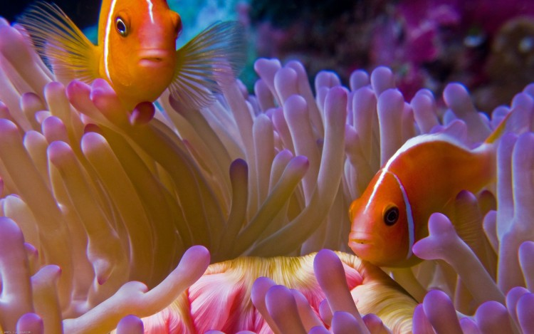 Wallpapers Animals Sealife - Fishes Poissons clown et son anémone