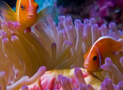 Wallpapers Animals Poissons clown et son anémone