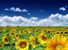 Wallpapers Nature Tournesol