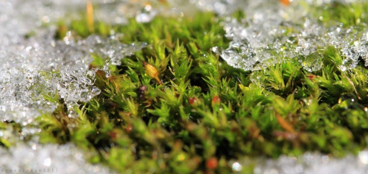 Fonds d'écran Nature Mousses - Lichens Mousse gelée