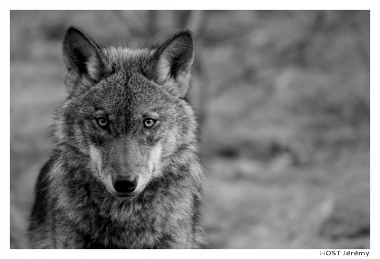 Wallpapers Animals Wolves Wolf .3
